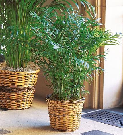 brdska palma 4